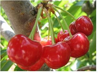 Сорт вишни обыкновенной: Багряная