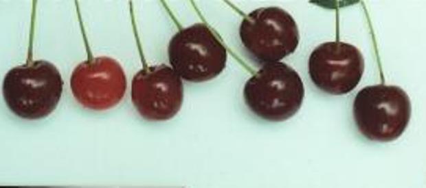 Сорт вишни обыкновенной: Быстринка
