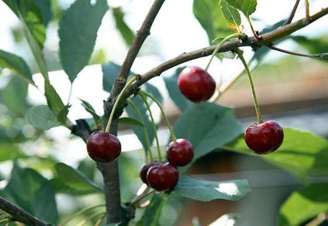 Сорт вишни обыкновенной: Чернокорка