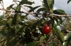 Сорт вишни обыкновенной: Десертная Морозовой