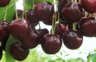 Сорт вишни обыкновенной: Десертная волжская