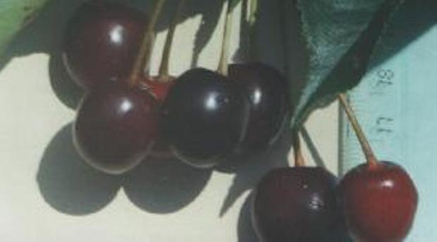 Сорт вишни обыкновенной: Дымка