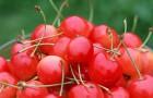 Сорт вишни обыкновенной: Фея