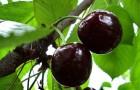 Сорт вишни обыкновенной: Финаевская