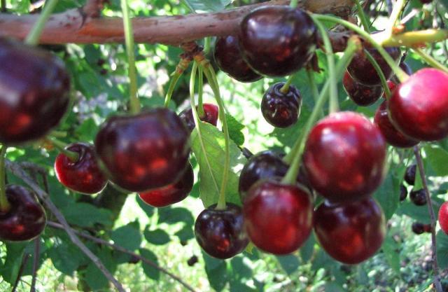 Сорт вишни обыкновенной: Гирлянда