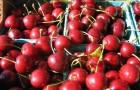 Сорт вишни обыкновенной: Гриот Остгеймский