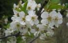 Сорт вишни обыкновенной: Гриот мичуринский