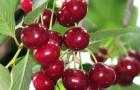 Сорт вишни обыкновенной: Гриот московский