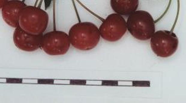 Сорт вишни обыкновенной: Гуртьевка