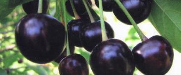 Сорт вишни обыкновенной: Хуторянка