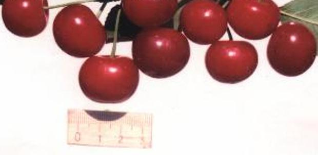 Сорт вишни обыкновенной: Игрушка