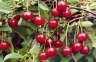 Сорт вишни обыкновенной: Искра