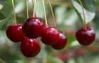 Сорт вишни обыкновенной: Изобильная