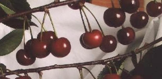 Сорт вишни обыкновенной: Казачка