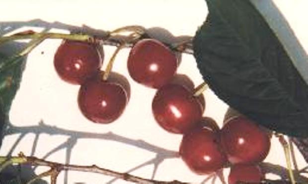 Сорт вишни обыкновенной: Кирина