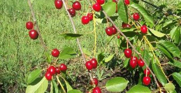 Сорт вишни обыкновенной: Кизиловая
