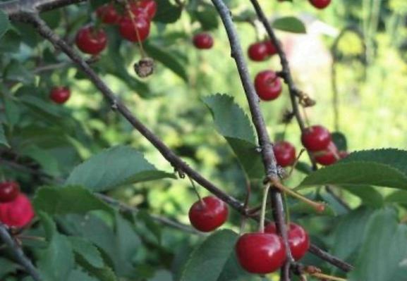 Сорт вишни обыкновенной: Конкурентка