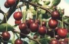 Сорт вишни обыкновенной: Лотовая
