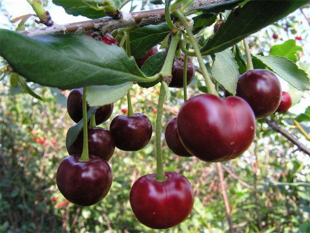 Сорт вишни обыкновенной: Любимица