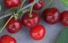 Сорт вишни обыкновенной: Любская