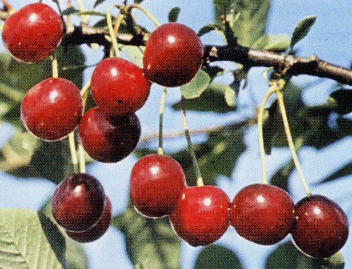 Сорт вишни обыкновенной: Малиновка