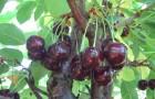 Сорт вишни обыкновенной: Мелодия