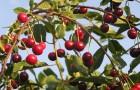 Сорт вишни обыкновенной: Молодёжная