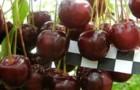 Сорт вишни обыкновенной: Морозовка