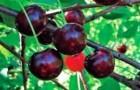 Сорт вишни обыкновенной: Надежда