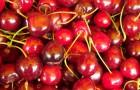 Сорт вишни обыкновенной: Нефрис
