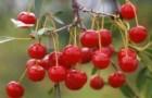 Сорт вишни обыкновенной: Нижнекамская