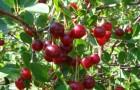 Сорт вишни обыкновенной: Нортстар