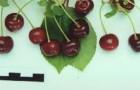 Сорт вишни обыкновенной: Новелла