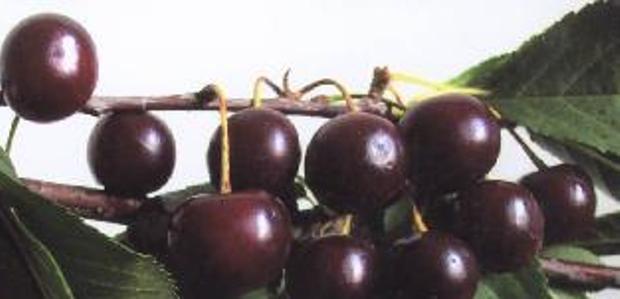 Сорт вишни обыкновенной: Облачинская