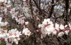Сорт вишни обыкновенной: Орлица