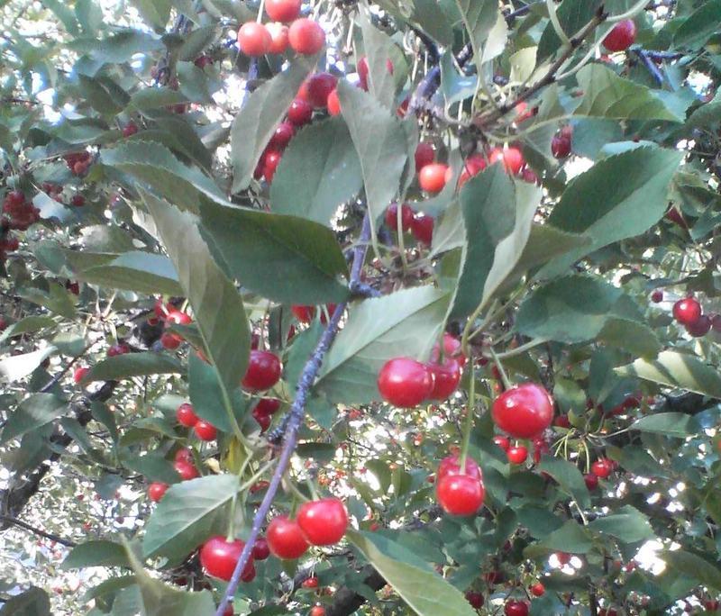 Сорт вишни обыкновенной: Ожерелье