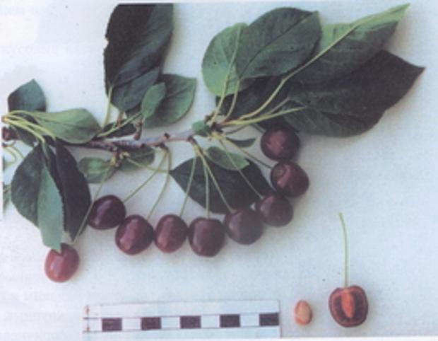 Сорт вишни обыкновенной: Память Сахарова