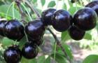 Сорт вишни обыкновенной: Память Ворончихиной