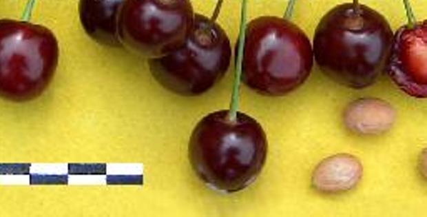 Сорт вишни обыкновенной: Памяти Еникеева