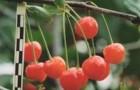 Сорт вишни обыкновенной: Памяти Машкина