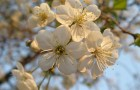Сорт вишни обыкновенной: Памяти Вавилова