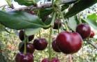 Сорт вишни обыкновенной: Памятная