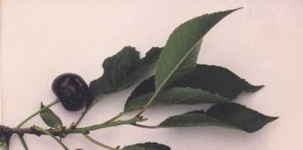 Сорт вишни обыкновенной: Песковатская