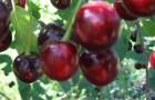 Сорт вишни обыкновенной: Подбельский