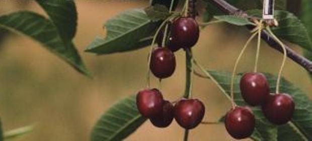 Сорт вишни обыкновенной: Превосходная Колесниковой
