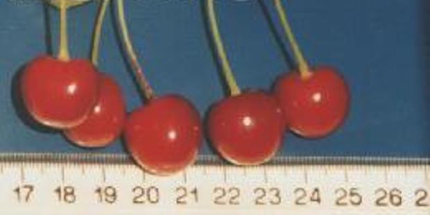 Сорт вишни обыкновенной: Расплётка Саратовская