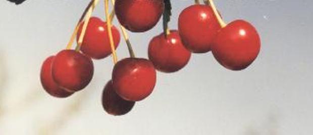 Сорт вишни обыкновенной: Растунья