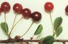 Сорт вишни обыкновенной: Ровесница