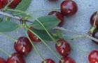 Сорт вишни обыкновенной: Русинка