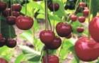 Сорт вишни обыкновенной: Рязаночка